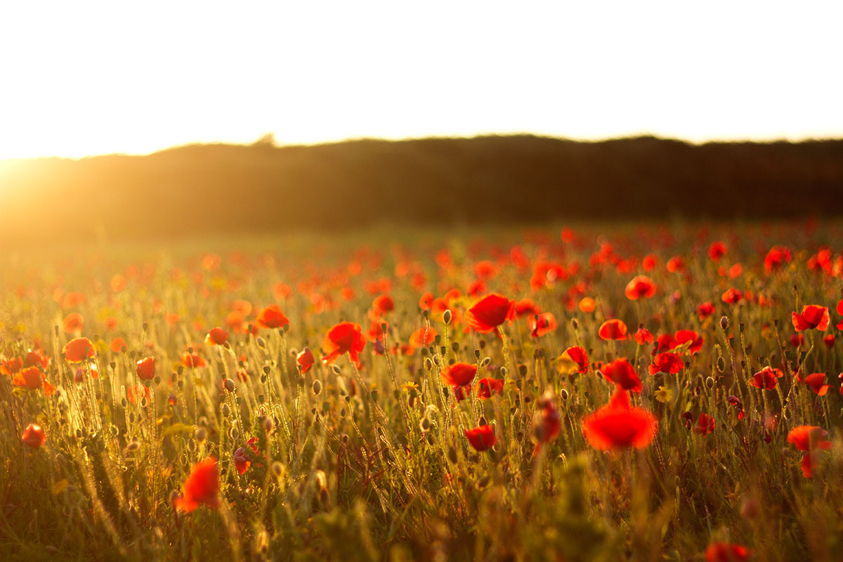 a field of poppies at sunset by photographer mat arney